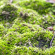Royalty-Free Stock Photo: Green moss closeup