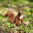 Squirrel sitting on a grass — Stock Photo #2971428