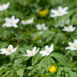 Royalty-Free Stock Photo: Wood anemone (Anemone nemorosa or windflower)