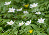 Wood anemone (Anemone nemorosa or windflower) — Stock Photo