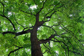 Looking up at a beautiful green colored tree — Stock Photo