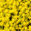 Small yellow flowers background — Stock Photo