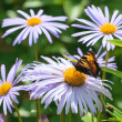 Butterfly on fine chamomile flower — Stock Photo