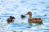 Duck and baby ducklings in the water — Stock Photo