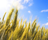 Golden ears of wheat agains the blue sky — Stock Photo