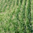 Green corn field in summer - Stock Photo