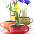 Growing spring flowers in a cup — Stock Photo