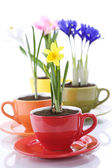 Growing spring flowers in a cup — Stock fotografie