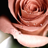 Rose — Stock Photo