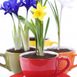 Stock Photo: Growing spring flowers in a cup