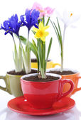 Growing spring flowers in a cup — Stok fotoğraf