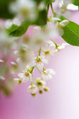 Spring cherry blossoms — Stockfoto