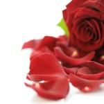 Rose — Stock Photo