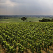 Vineyard in Burgundy — Stock Photo #3175677
