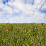 Wheat field — Stock Photo #3176421