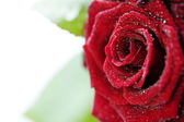 Beautiful Red Roses with water droplets — Stock Photo