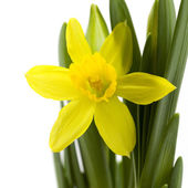 Fresh daffodil — Stock Photo