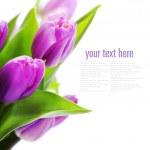 ������, ������: Tulips