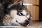 Picture of a brown-eyed adult siberian husky — Stock Photo