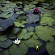 Colored water lily With floating leafe's in a pond — Stok fotoğraf