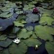 Colored water lily With floating leafe's in a pond — Foto de Stock
