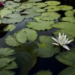 Colored water lily With floating leafe's in a pond — Stock Photo