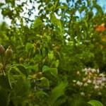 manzanas rojas maduras en las ramas de árboles de manzana en el huerto — Foto de Stock