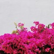 Pink Bouganvilla flowers background — Stock Photo