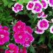 Purple and white dianthus - Stock Photo