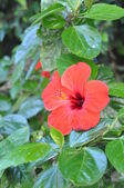 Hibiscus flower — Stok fotoğraf
