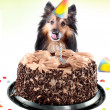 Stock Photo: Sheltie birthday cake