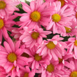 Pink daisy background — Stock Photo #3186720