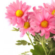Stock Photo: Pink daisy background