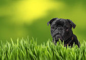 Black pug with nature — Stock Photo