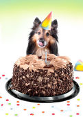 Sheltie birthday cake — Foto Stock
