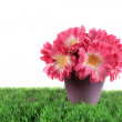 Pot of pink daisies - Foto Stock