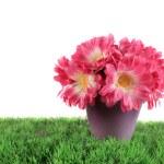 Pot of pink daisies — Stock Photo