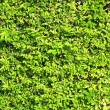 Abstract texture fresh green foliage — Stock Photo