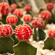 Cactus. Gymnocalycium michanovichii - Stock Photo