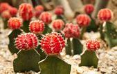 Cactus. Gymnocalycium michanovichii — Stock Photo