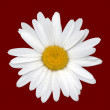 Daisy isolated on red — Stock Photo