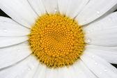 Daisy blossom closeup — Stock Photo