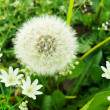 Flowers  snowdrops   dandelion — Stock Photo