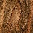 Bark  tree  oak - Foto de Stock
