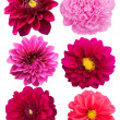 Flowers  peonies   dahlias — Stock Photo