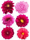 Flowers peonies dahlias — Stock Photo