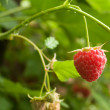 Berries   raspberry — Stock Photo