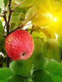 Pommes fruits rouges — Photo