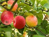Fruit apples — Stock Photo