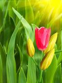 Pétalas amarelo de flores tulipas vermelhas — Fotografia Stock